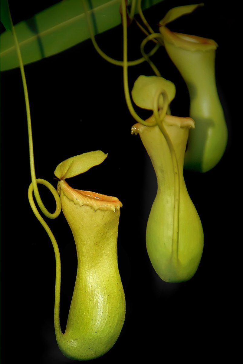 The Pitcher Plant