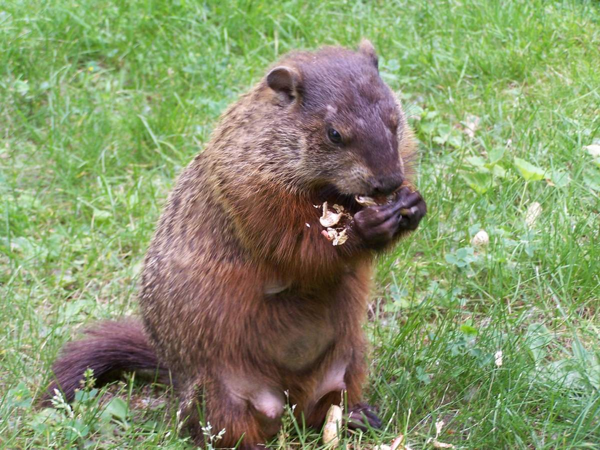 A groundhog sitting up to eat