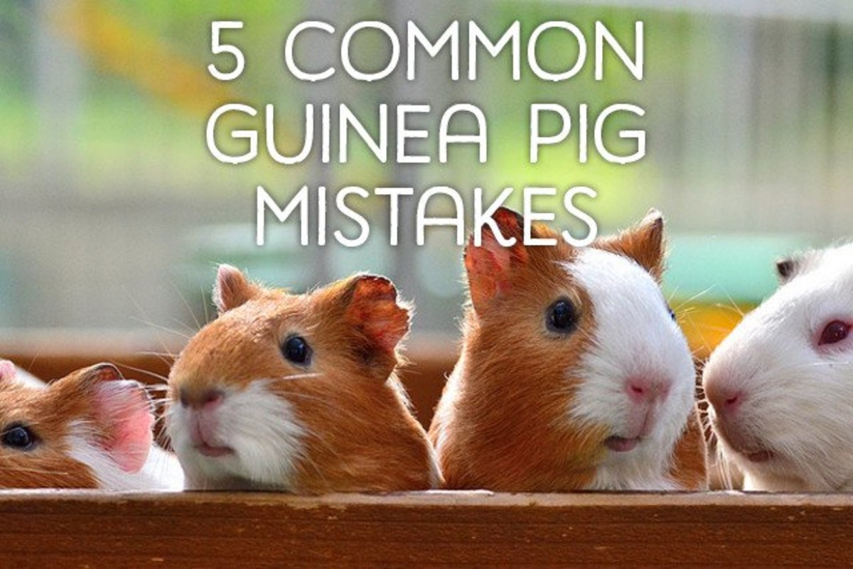 5 Common Mistakes Guinea Pig Owners Make