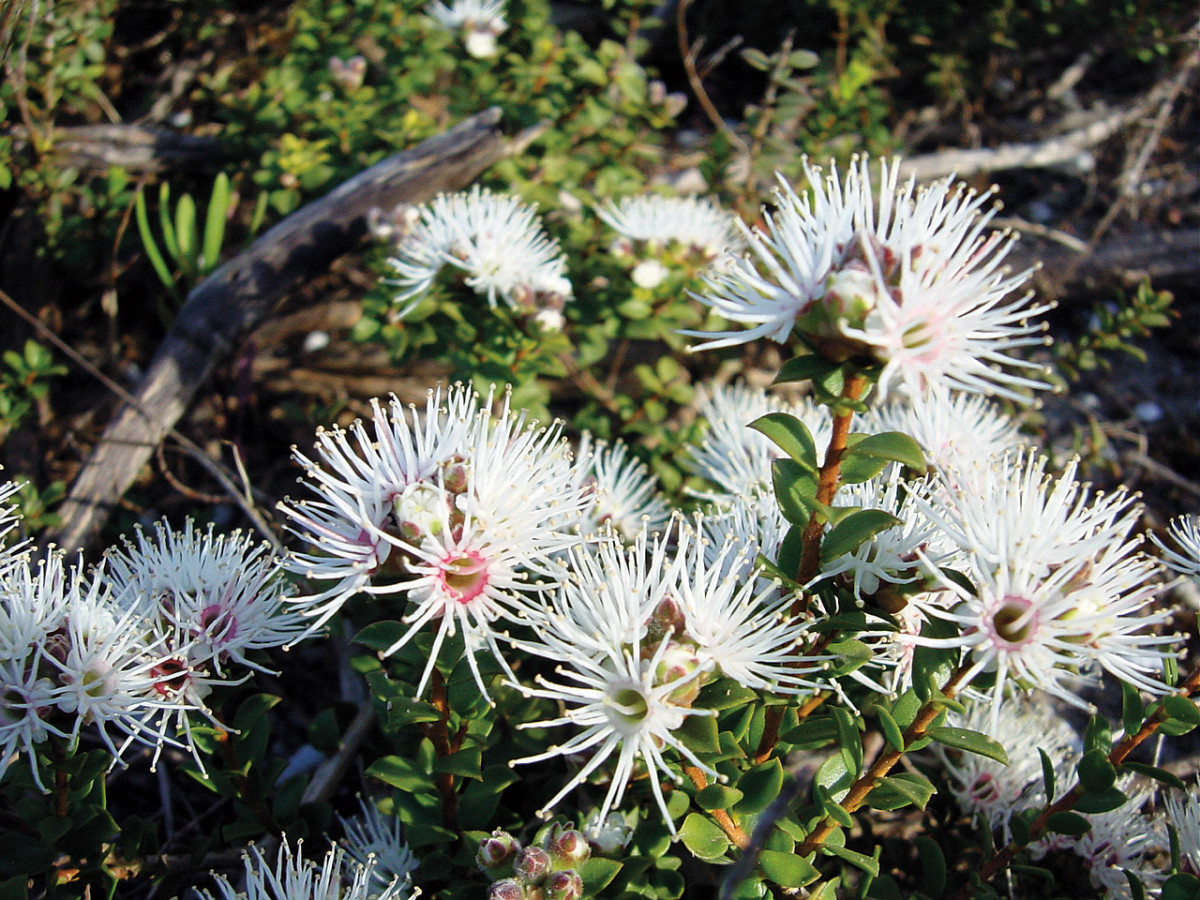 The white flowers of Muntries (Kunzea pomifera)