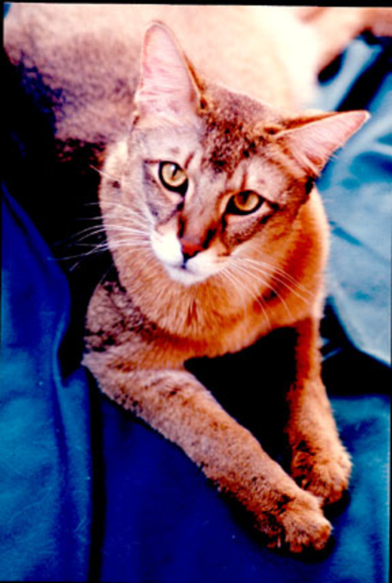 If you want to thwart the thieving instincts of the Chausie, shut doors and drawers completely. Some Chausies have been known to pull them open!