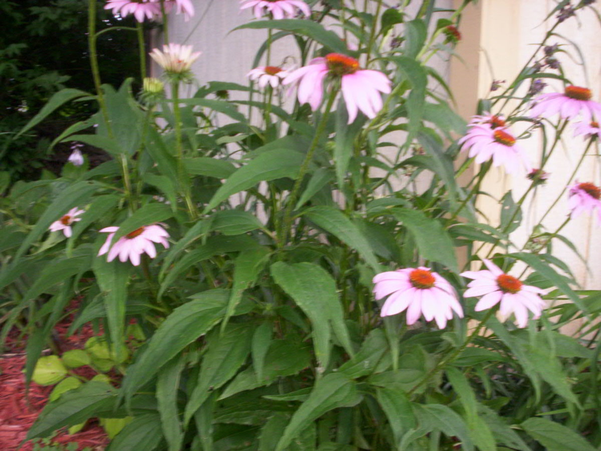 How to Grow Coneflowers - Enchinacea