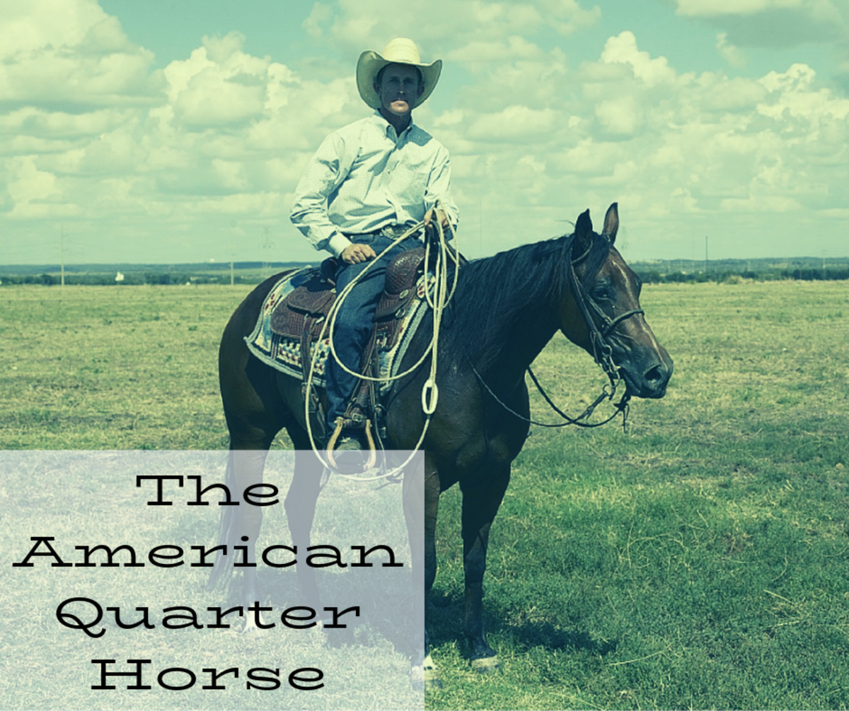 American Quarter Horses are excellent ranch hands.