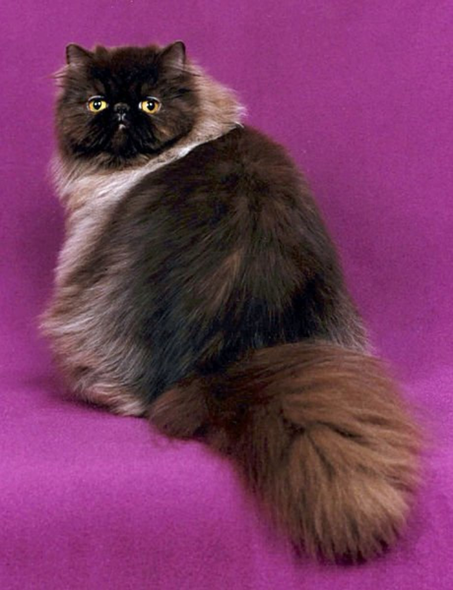 Persian cats are the ultimate divas who love been pampered and spoiled. The chocolate coat on this one is particularly handsome and dense.