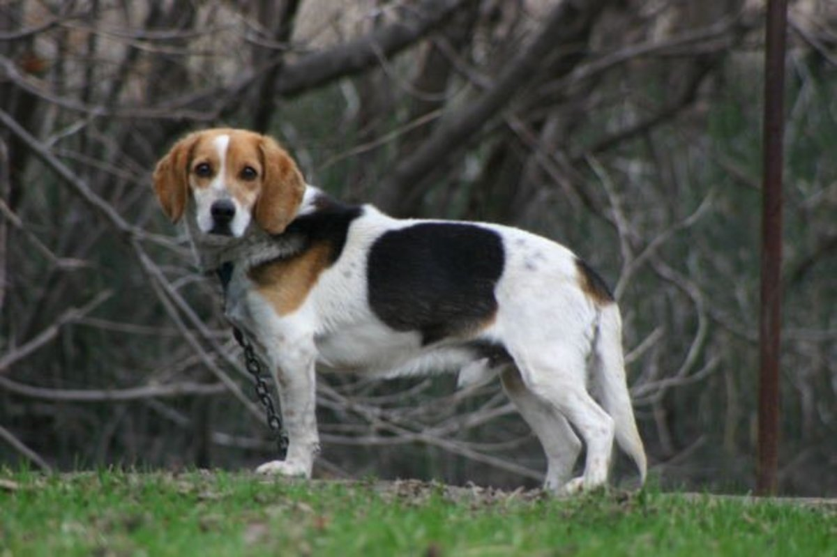 How to Train Your Scent Hound Dog to Come When Called