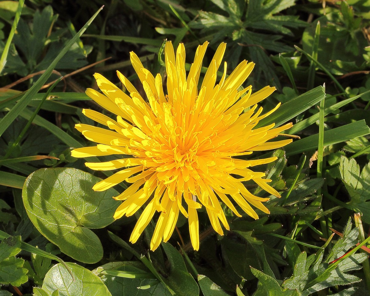 A common dandelion flower