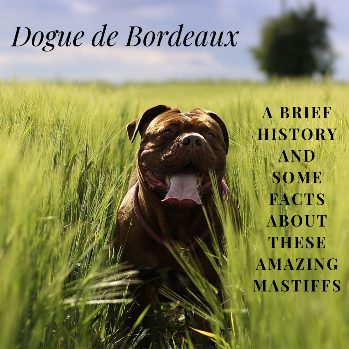 This article will break down a little bit about the history of the Dogue de Bordeaux, as well as share some interesting facts about this wonderful breed.