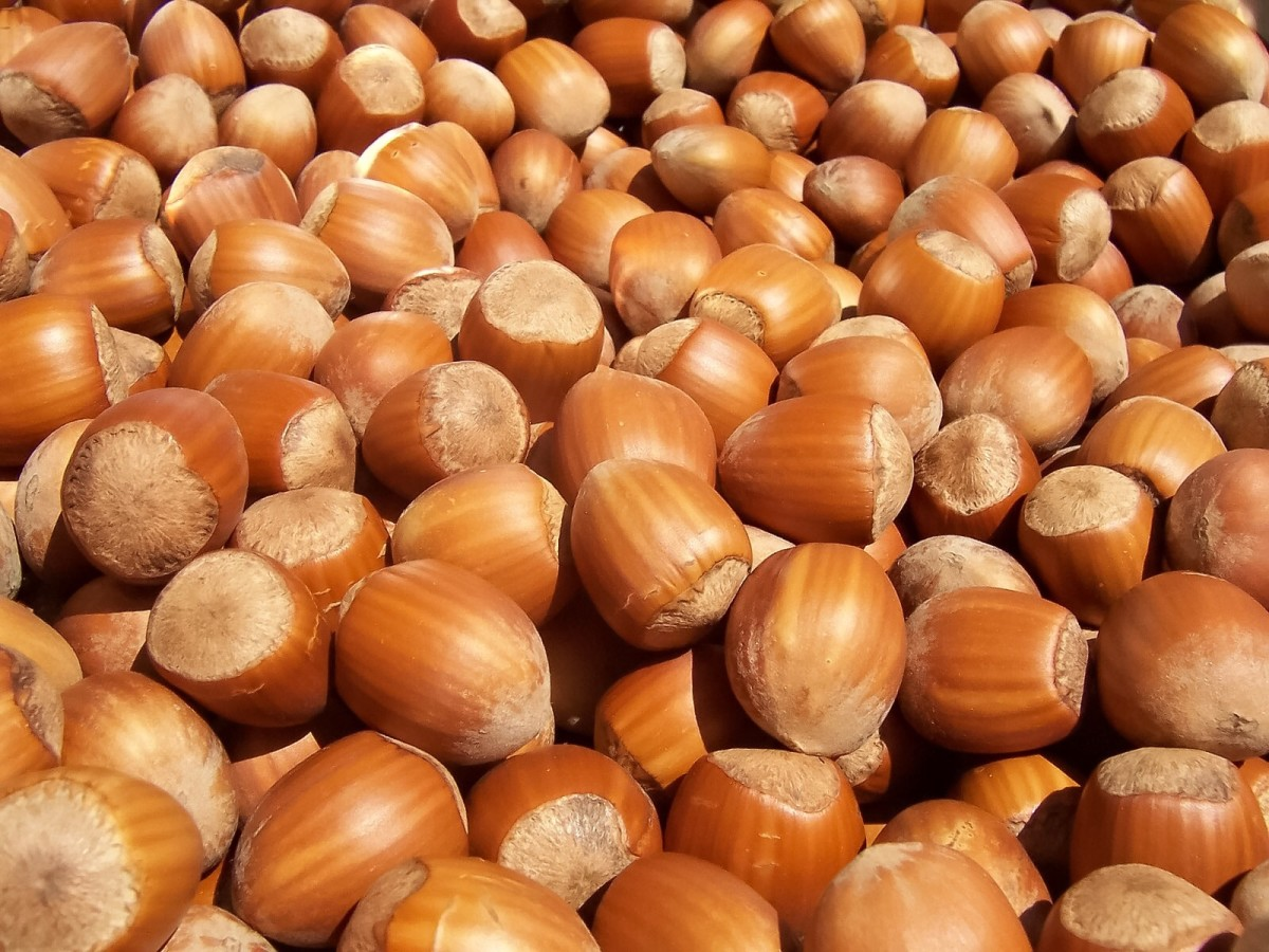 Hazelnuts are delicious and nutritious.