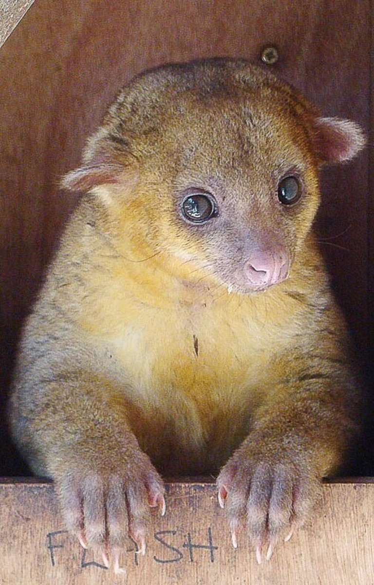 A kinkajou at a wildlife rehabilitation center