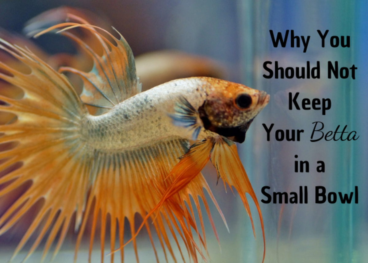Betta Fish in Bowls: Just Say No!