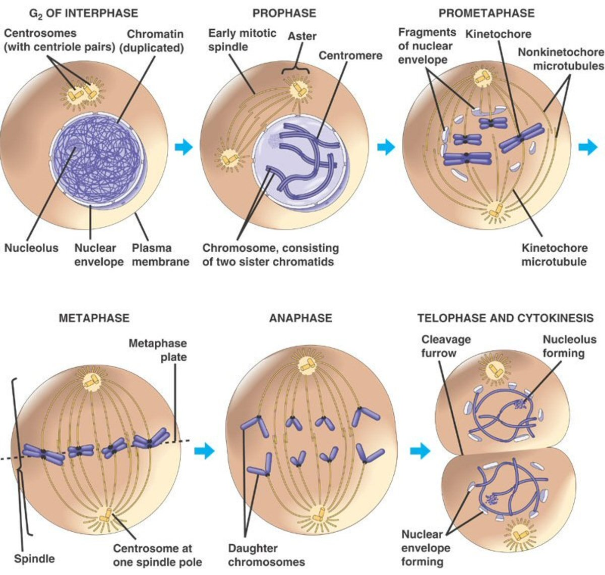 stages of the cell cycle mitosis metaphase anaphase