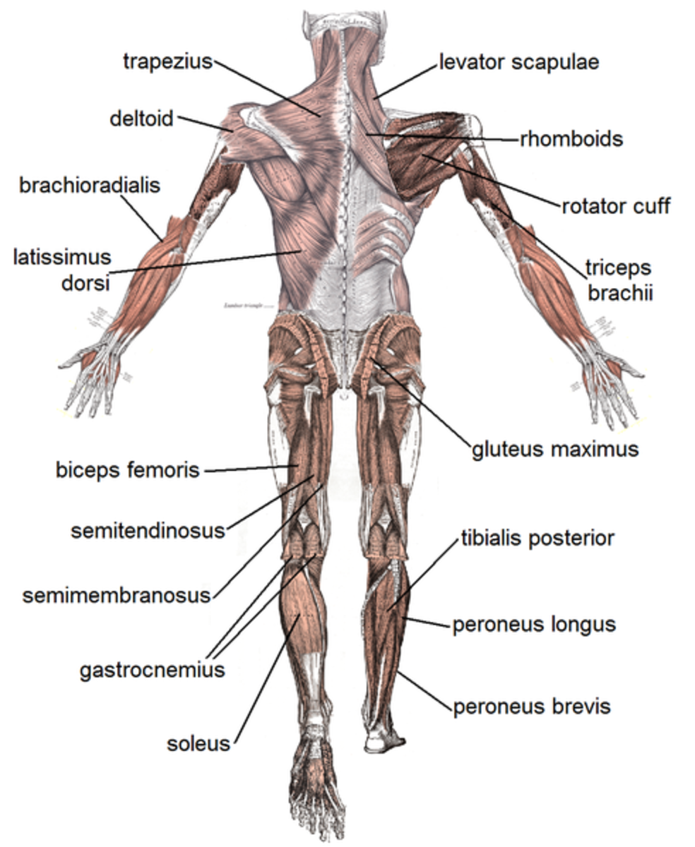 Human Muscular System with labeling from back view. Image Credit: Mikael Häggström via Wikimedia Commons.