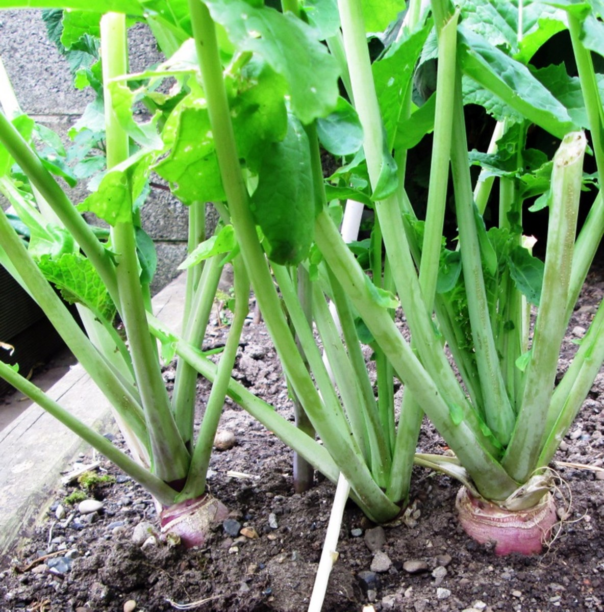 How to Plant, Grow and Harvest Swede Turnips