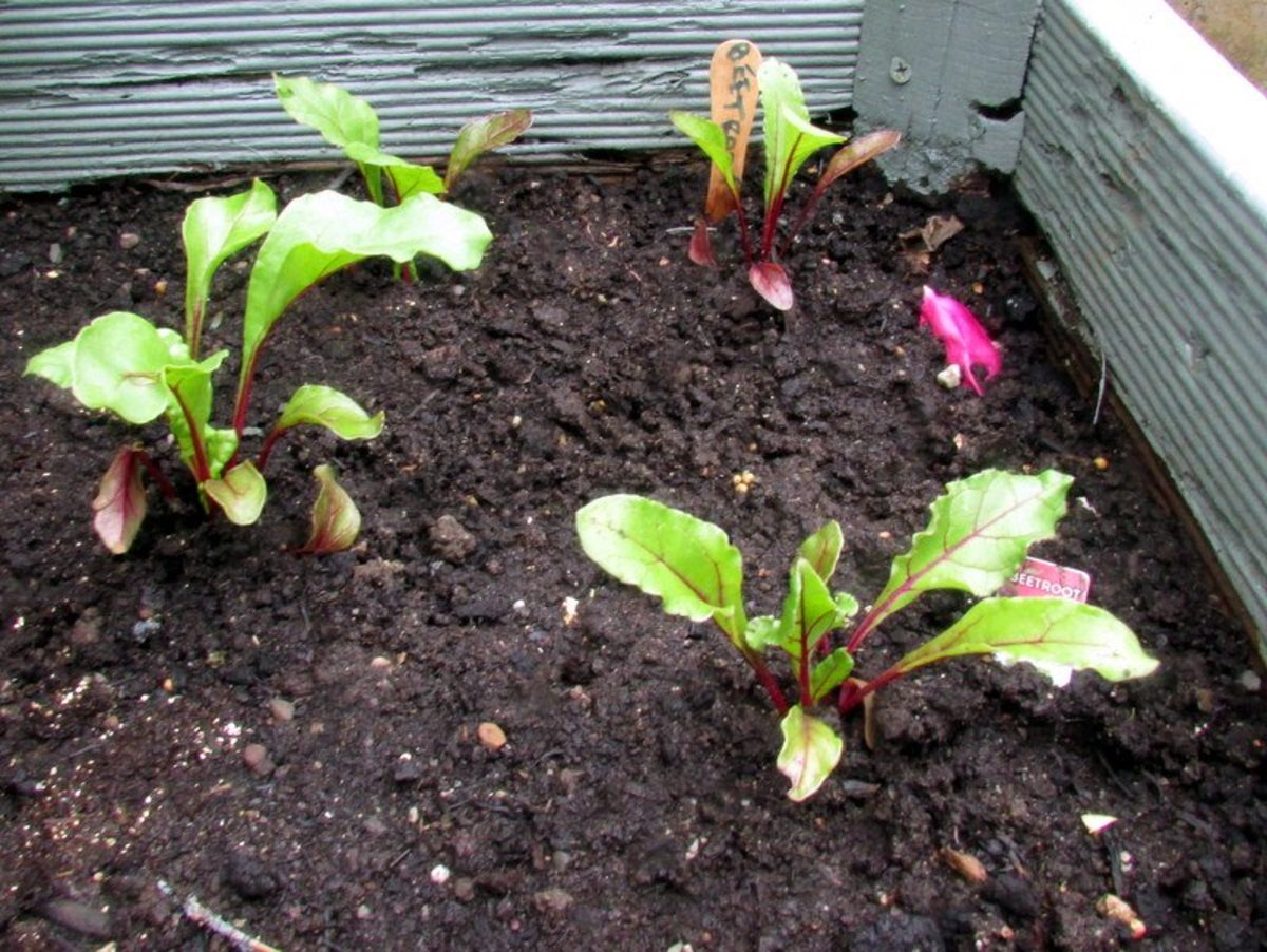 Beetroot Growing in Containers