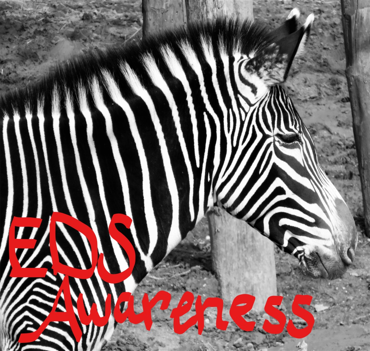 Those with EDS have the beautiful Zebra as our symbol. This one lives in Paris - no really!