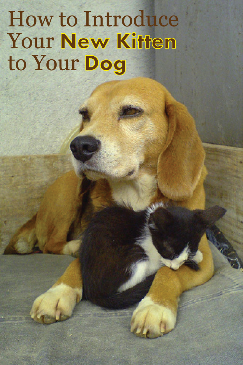 Beagle dog with black and white kitten