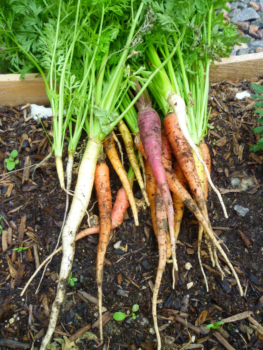 How to Grow Carrots from Seed