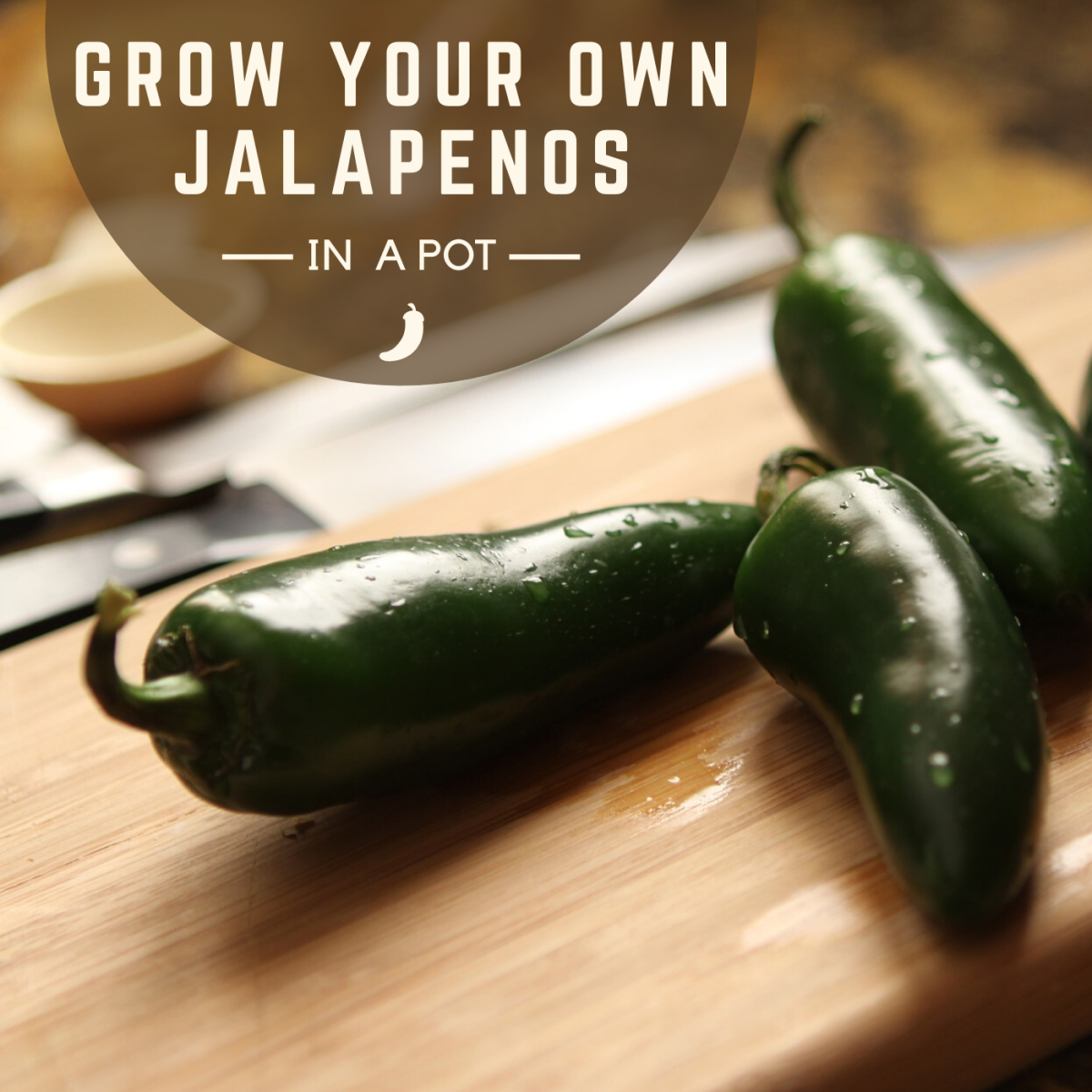 Learn how to grow your own jalapeño plant in a container at home. No yard necessary!