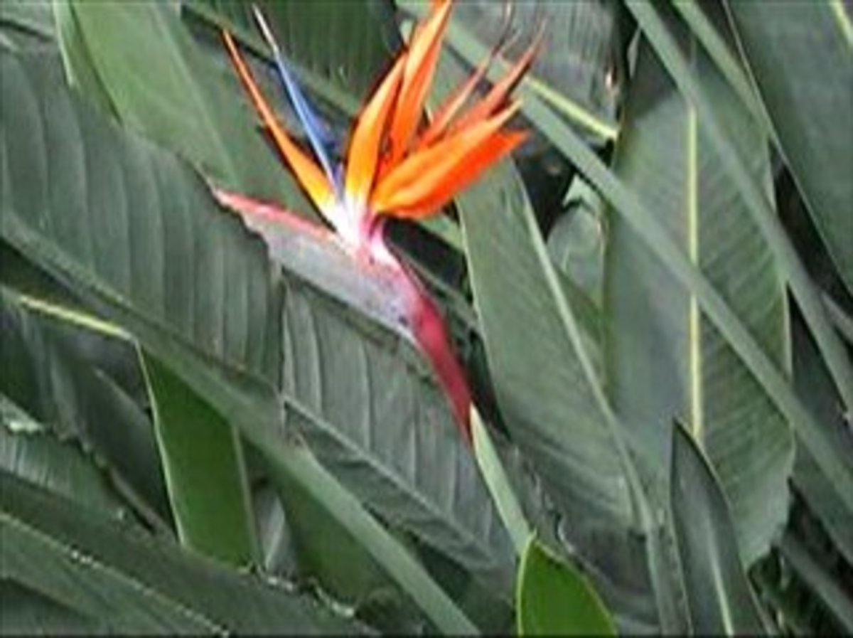Caring For Bird Of Paradise Strelitzia