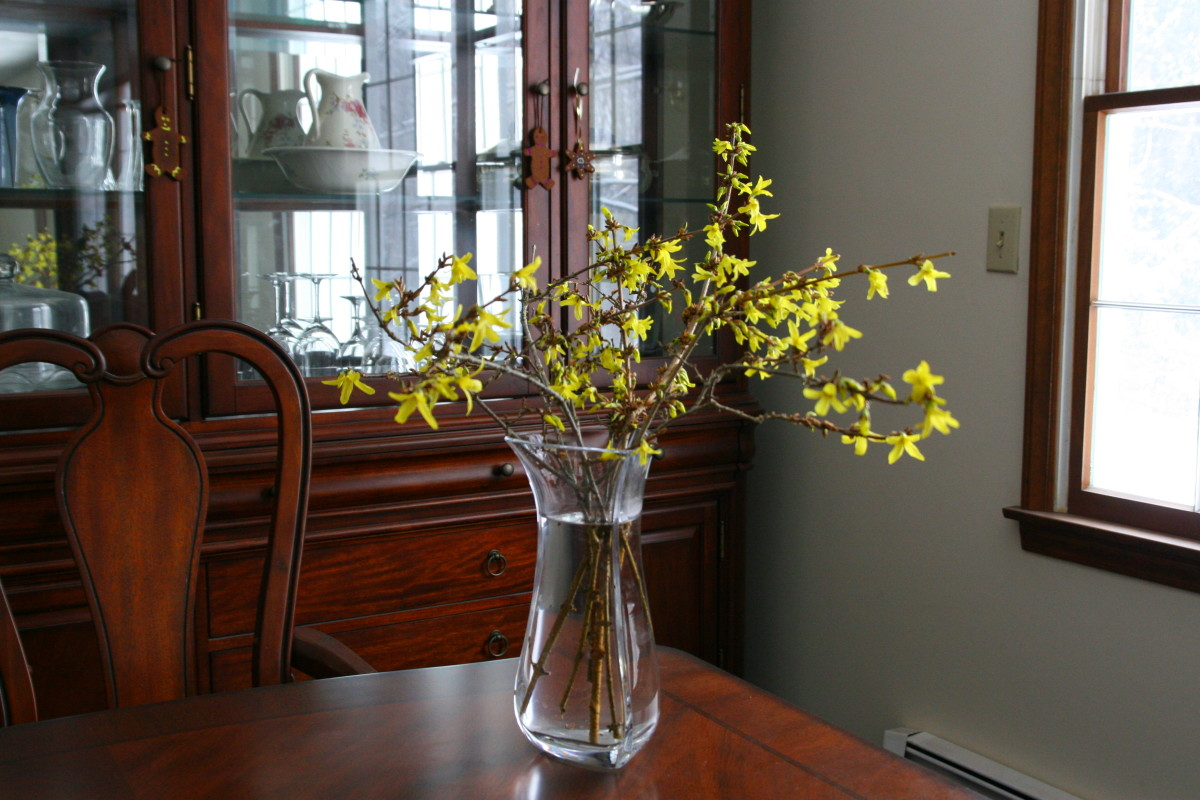Bright yellow forsythia flowers will brighten up the house in the middle of winter.