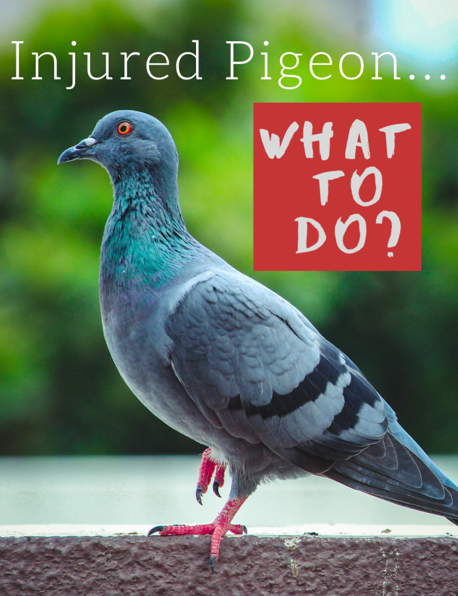 What should I do if I find a sick or injured pigeon? Should I try to help or not?