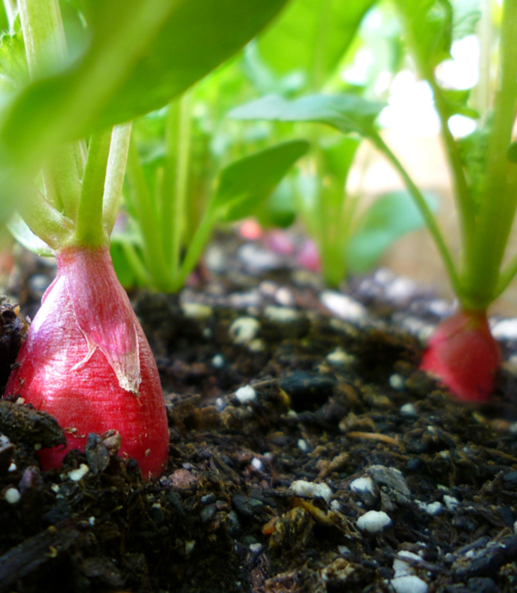 Grow Radishes in Containers