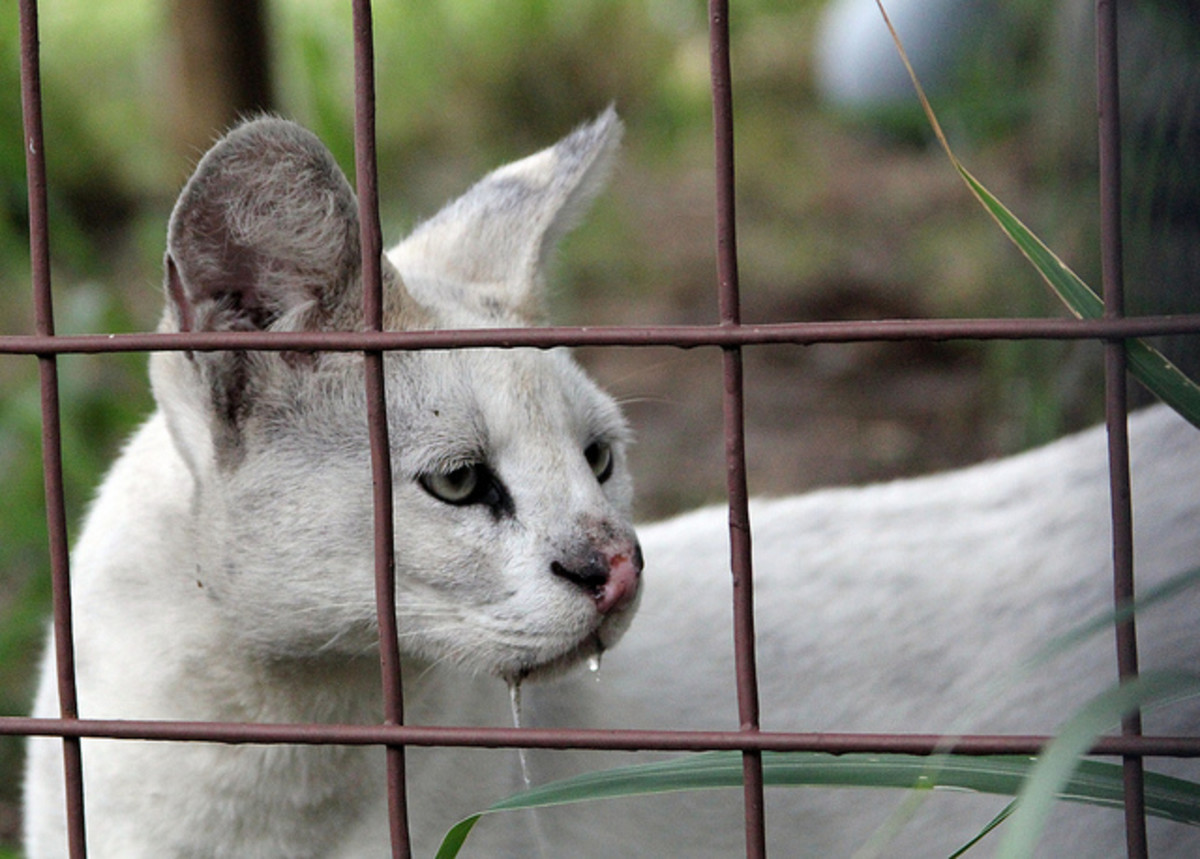The World's Only White Servals