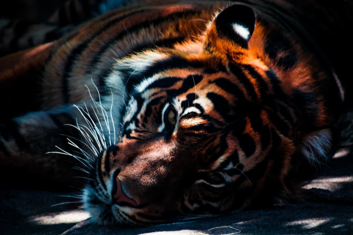 Endangered Wild Tigers Likely to Become Extinct