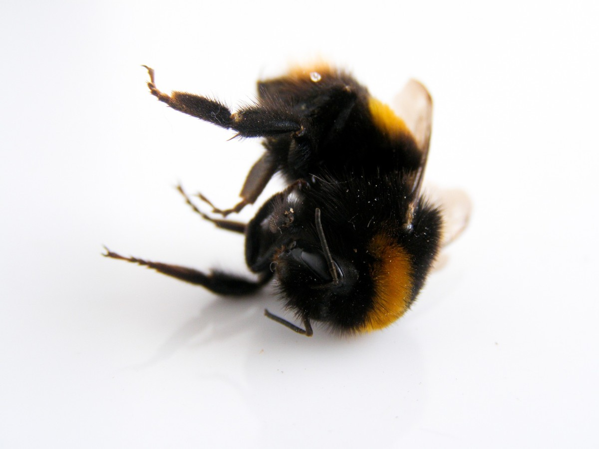 Why Are Honey Bees Dying?