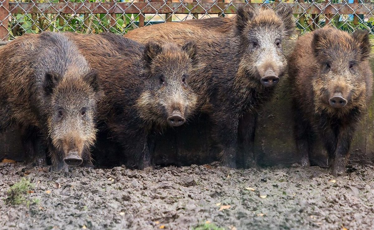 Sus scrofa: Feral pigs in Texas