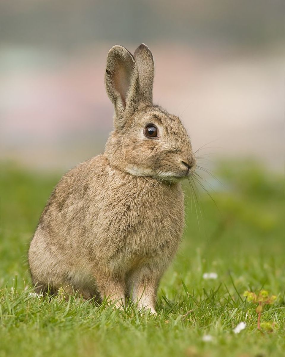 The Invasive Animals Cooperative Research Centre, Canberra estimates rabbits cause losses of about $206 million a year to agriculture and horticulture.