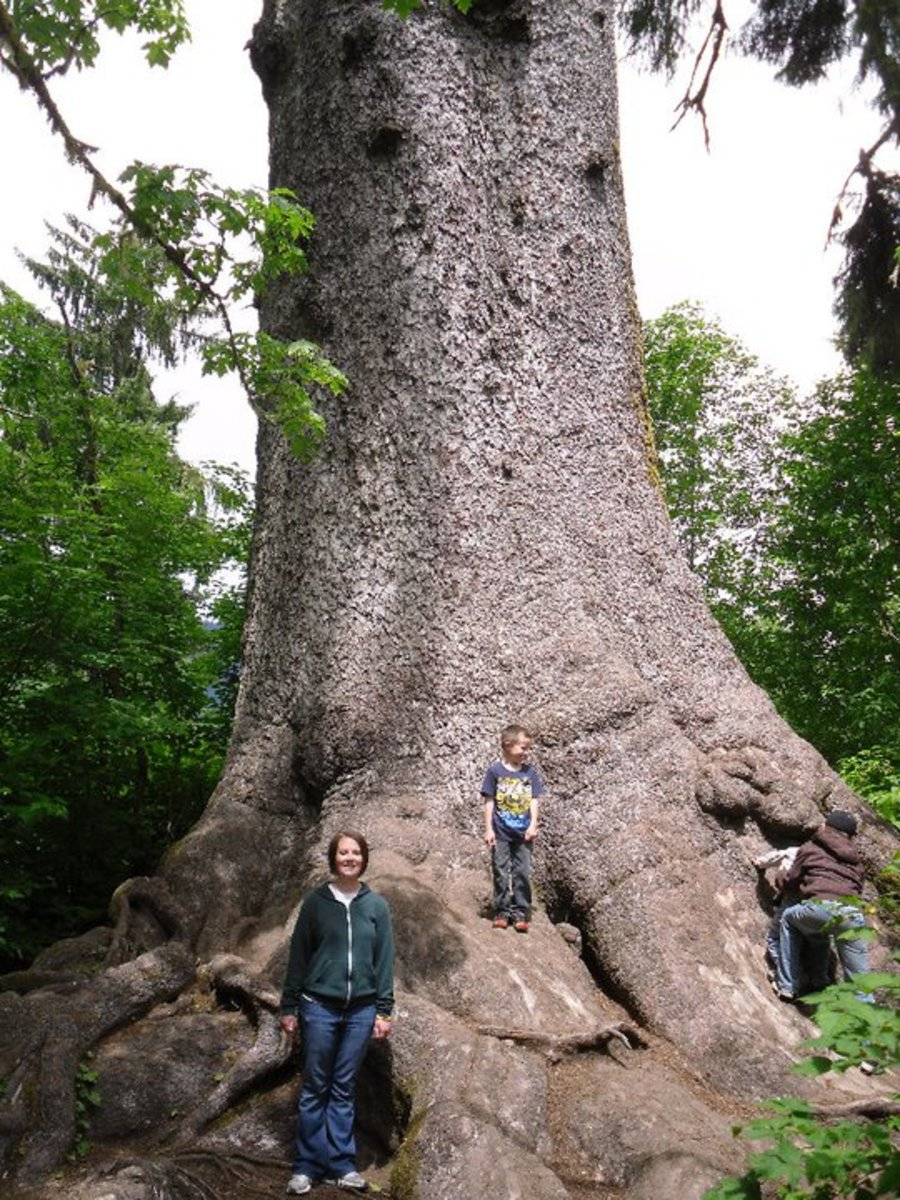The world's largest spruce tree is one of the best kept secrets of the Quinault Rainforest in western Washington.