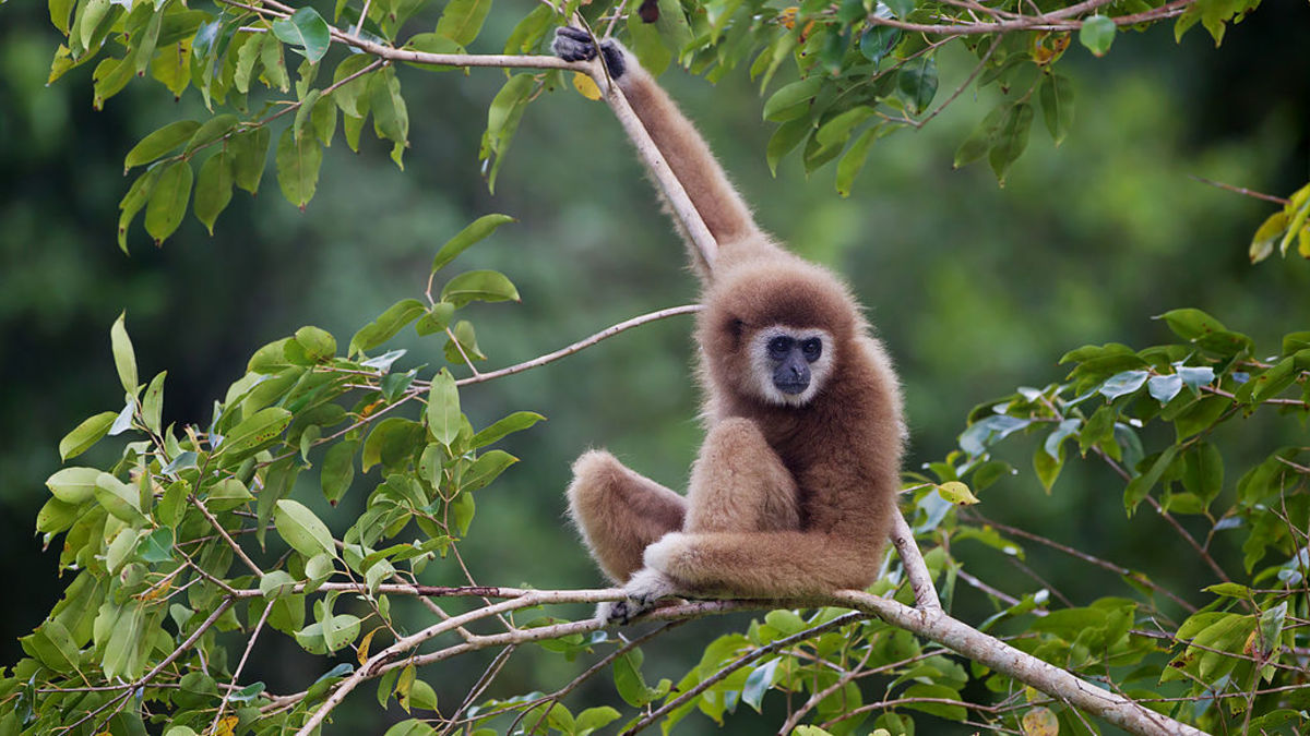 The white-handed gibbon is endangered.