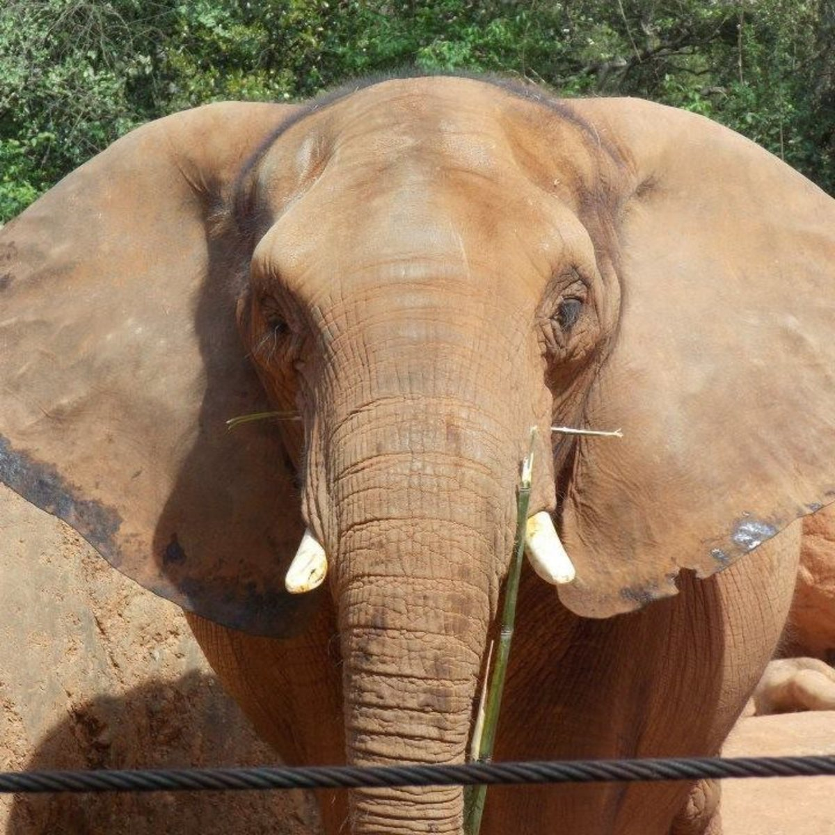 African elephants, like the female pictured here, have much larger ears than their Asian counterparts.