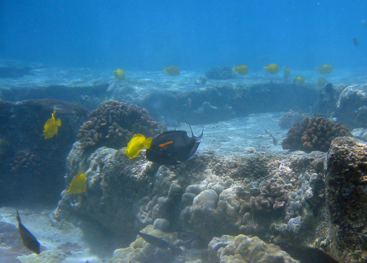 Yellow Tangs and Orangeband Surgeonfish at Kona Coast of Big Island