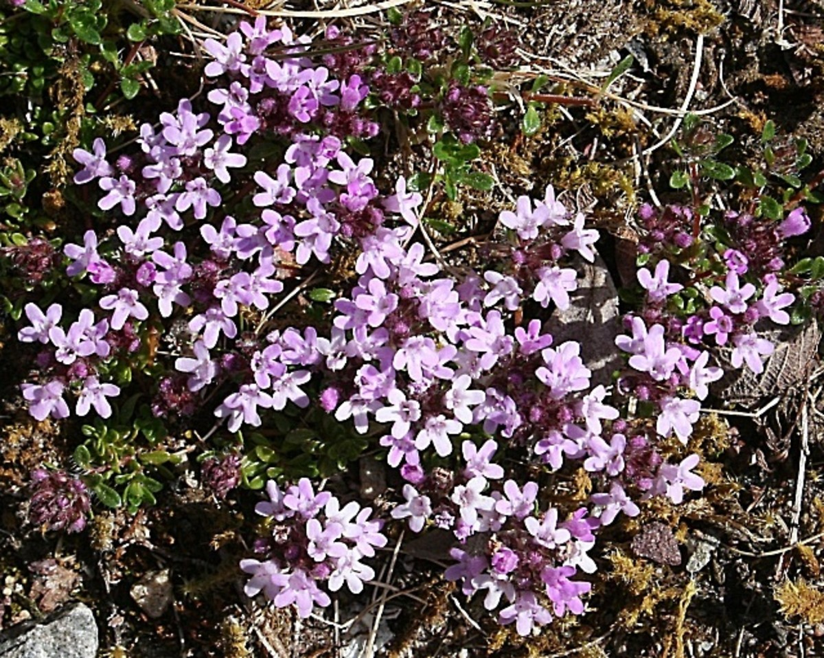A species of wild thyme - Thymus polytrichus, or lemon thyme