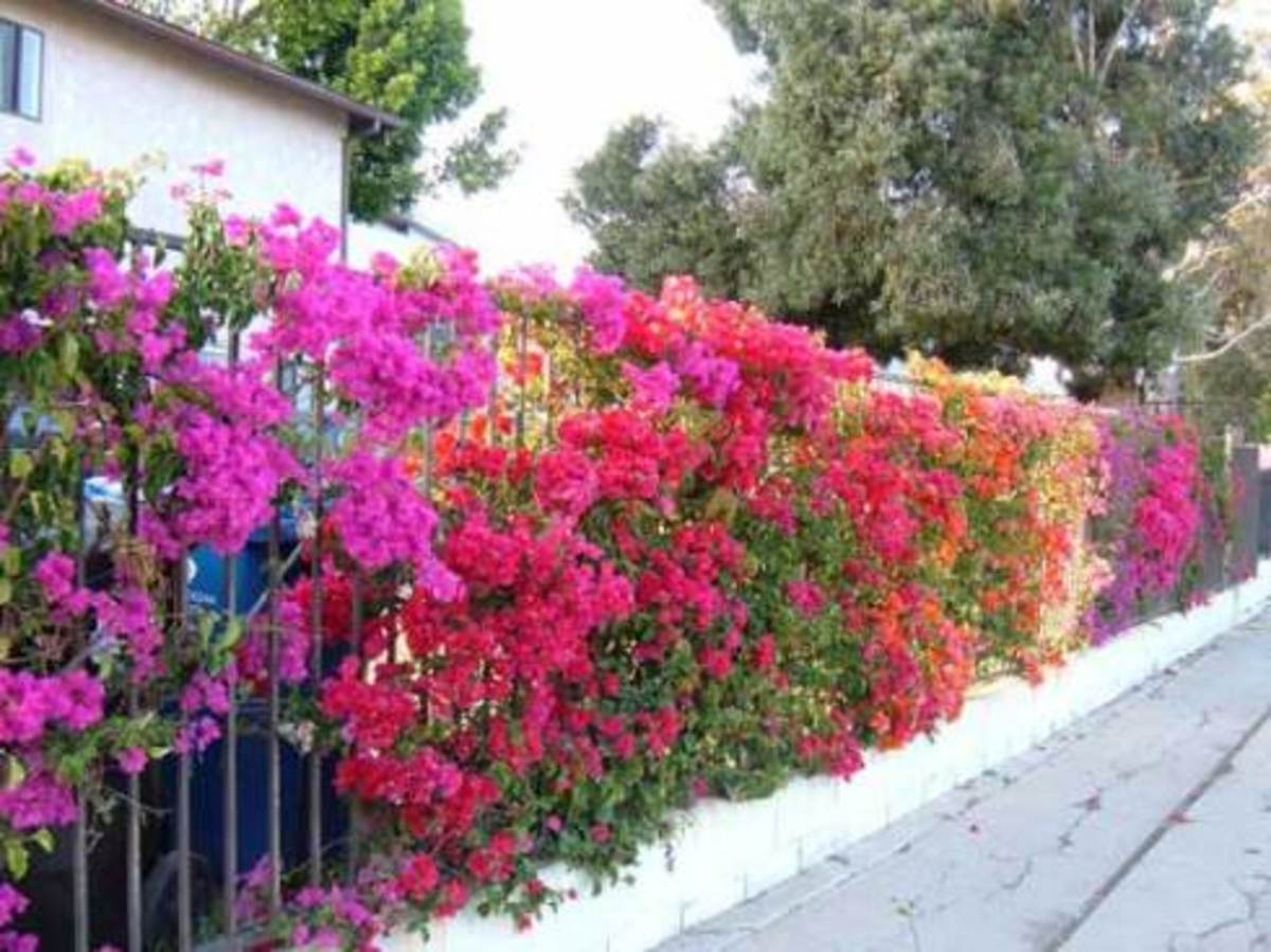 Lovely bougainvillea growing along a fence.