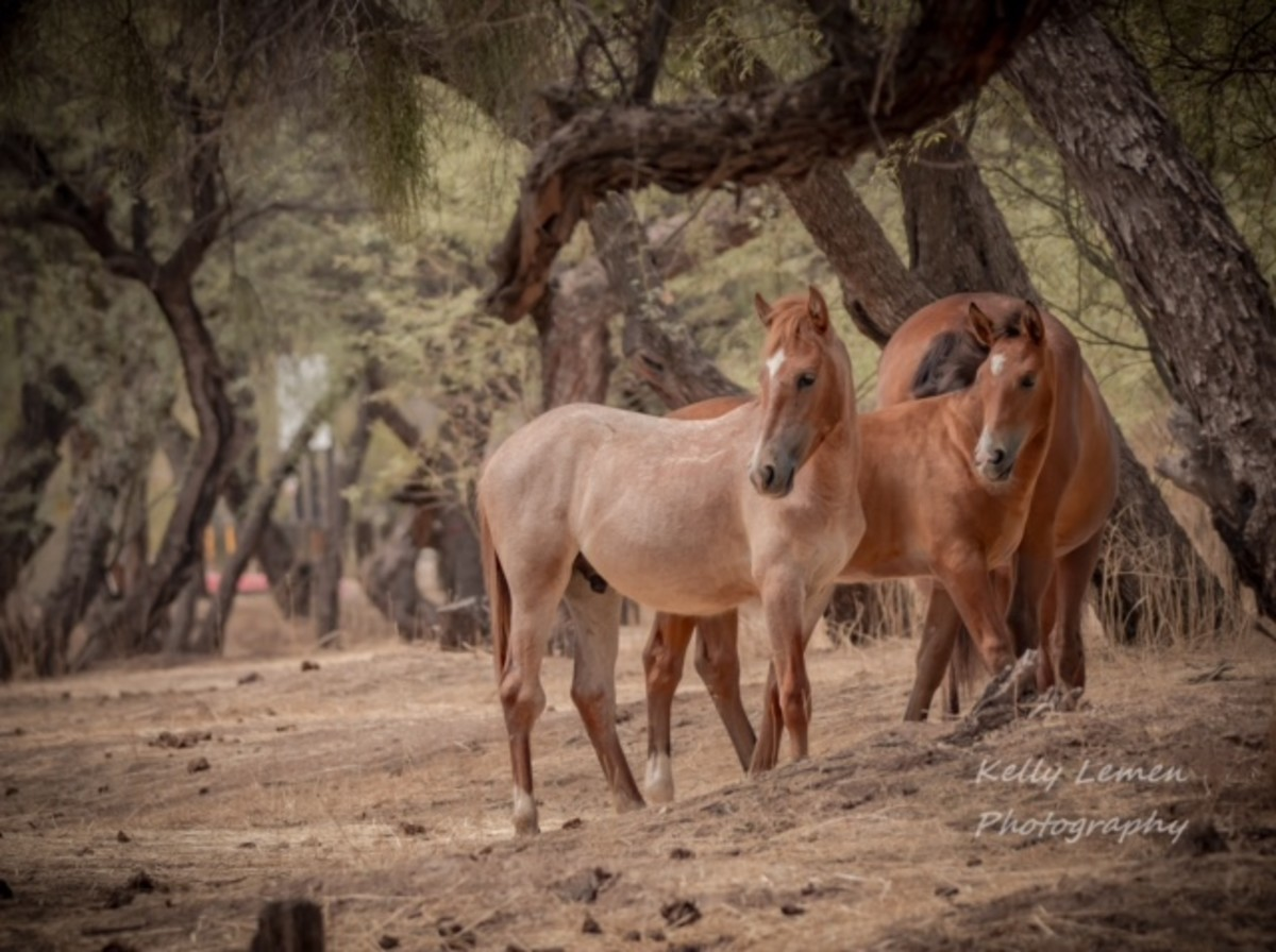 Salt River Wild Horses: Arizona's Beloved Icons of the Old West