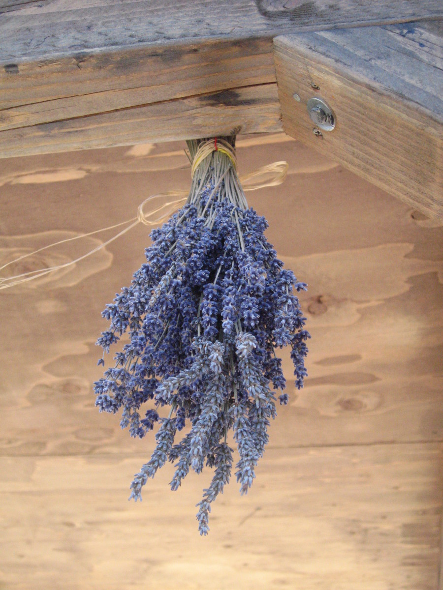 How to dry homegrown lavender.