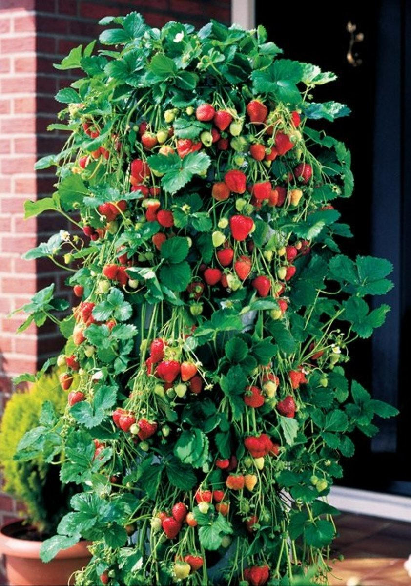 Recycle: Use 10lt plastic bottles to grow Strawberries.