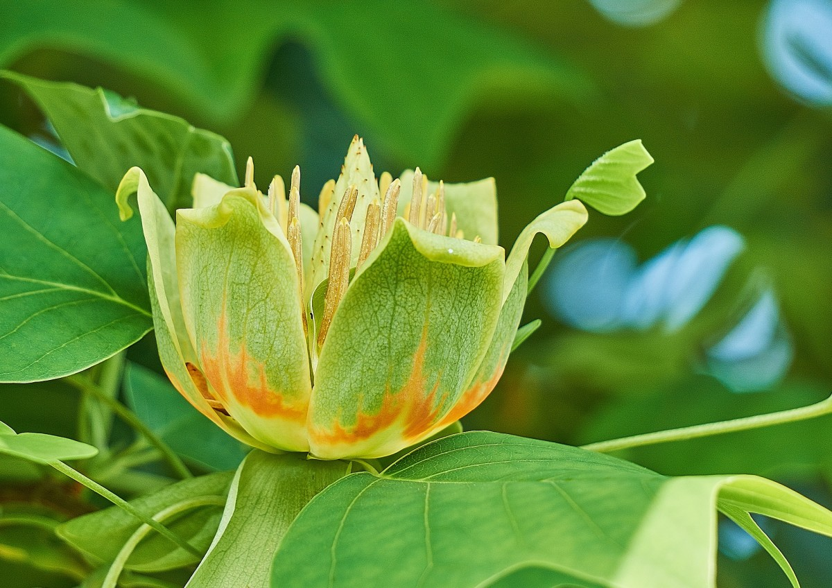 How To Care For Tulip Trees Dengarden