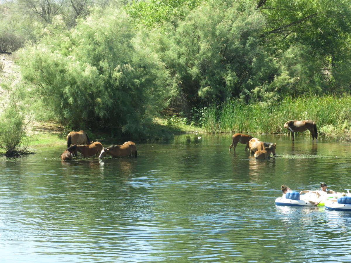 Tourists and Wild Horses Cooling Off in Arizona's Salt River