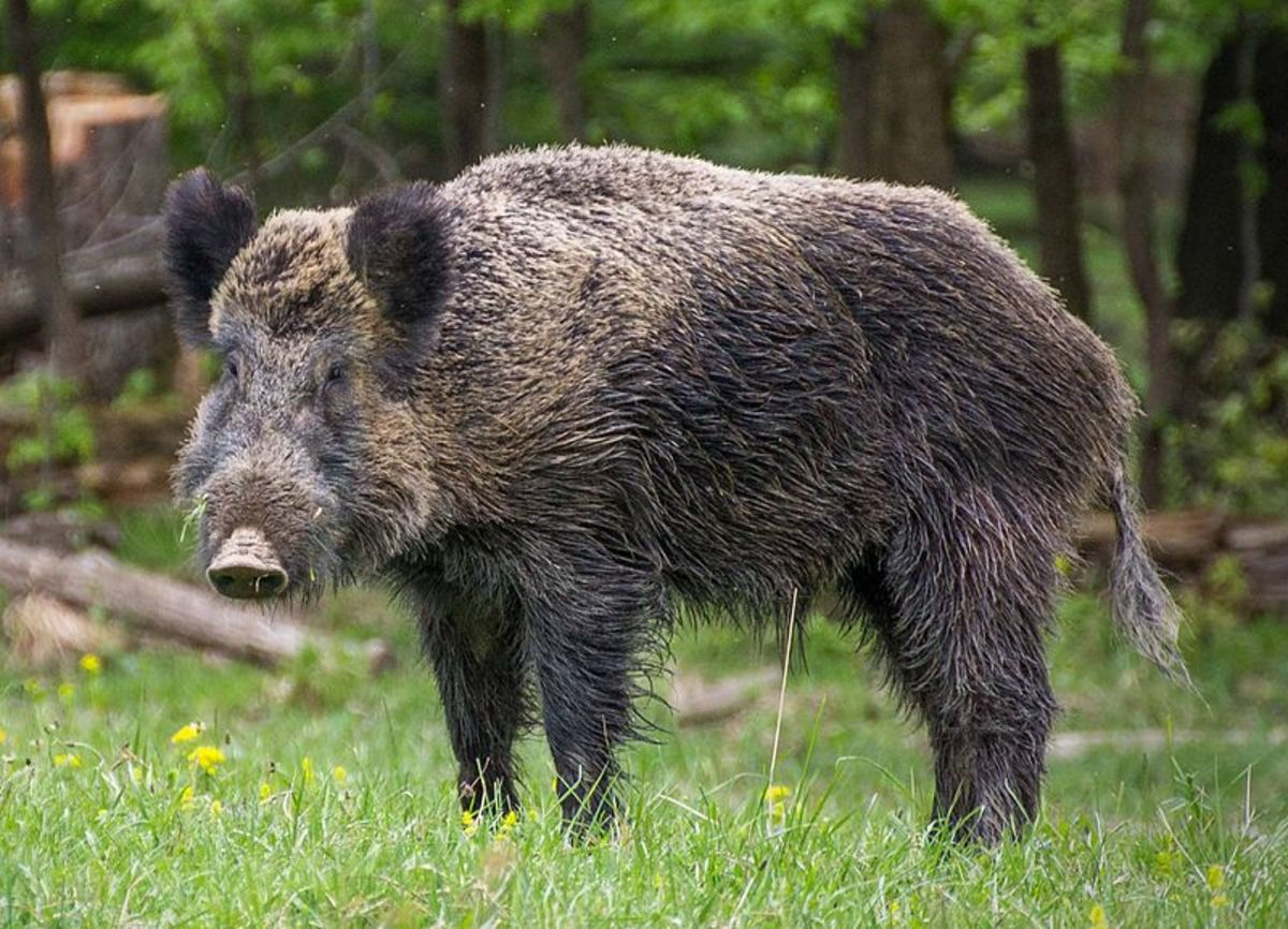 I ask you. Have you ever seen such a magnificent creation as this Wild Boar?