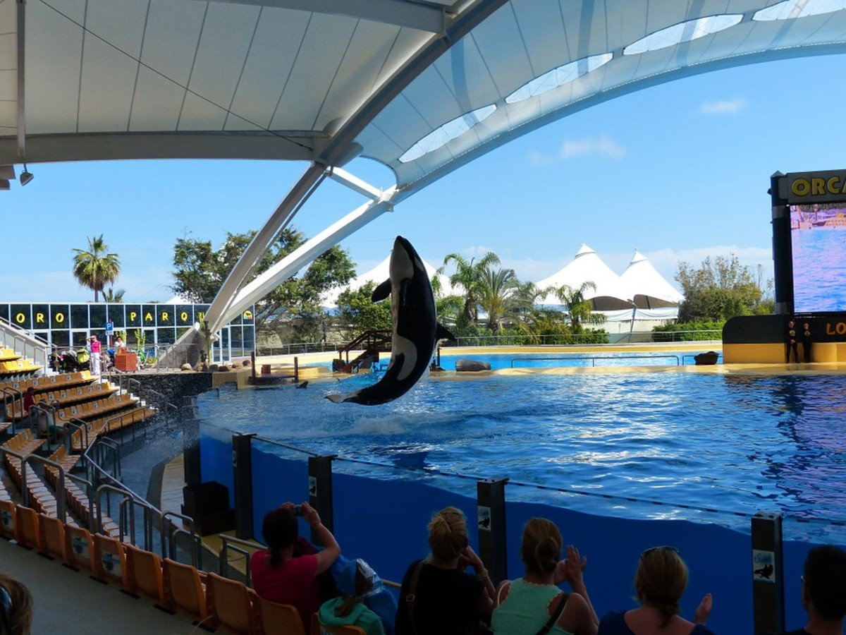 An Orca entertains the crowd at a marine park
