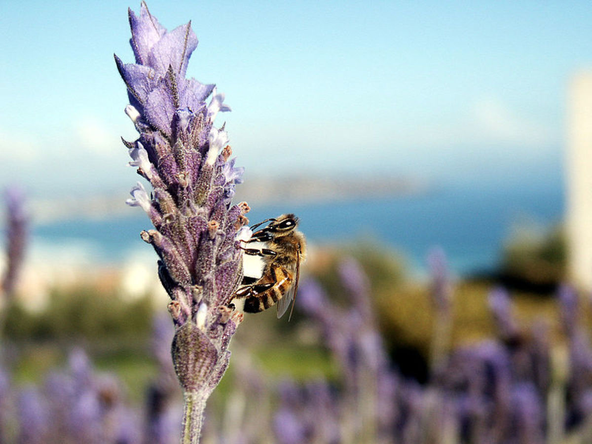 Invasive Insects—How Dangerous Are Killer Bees in the USA?