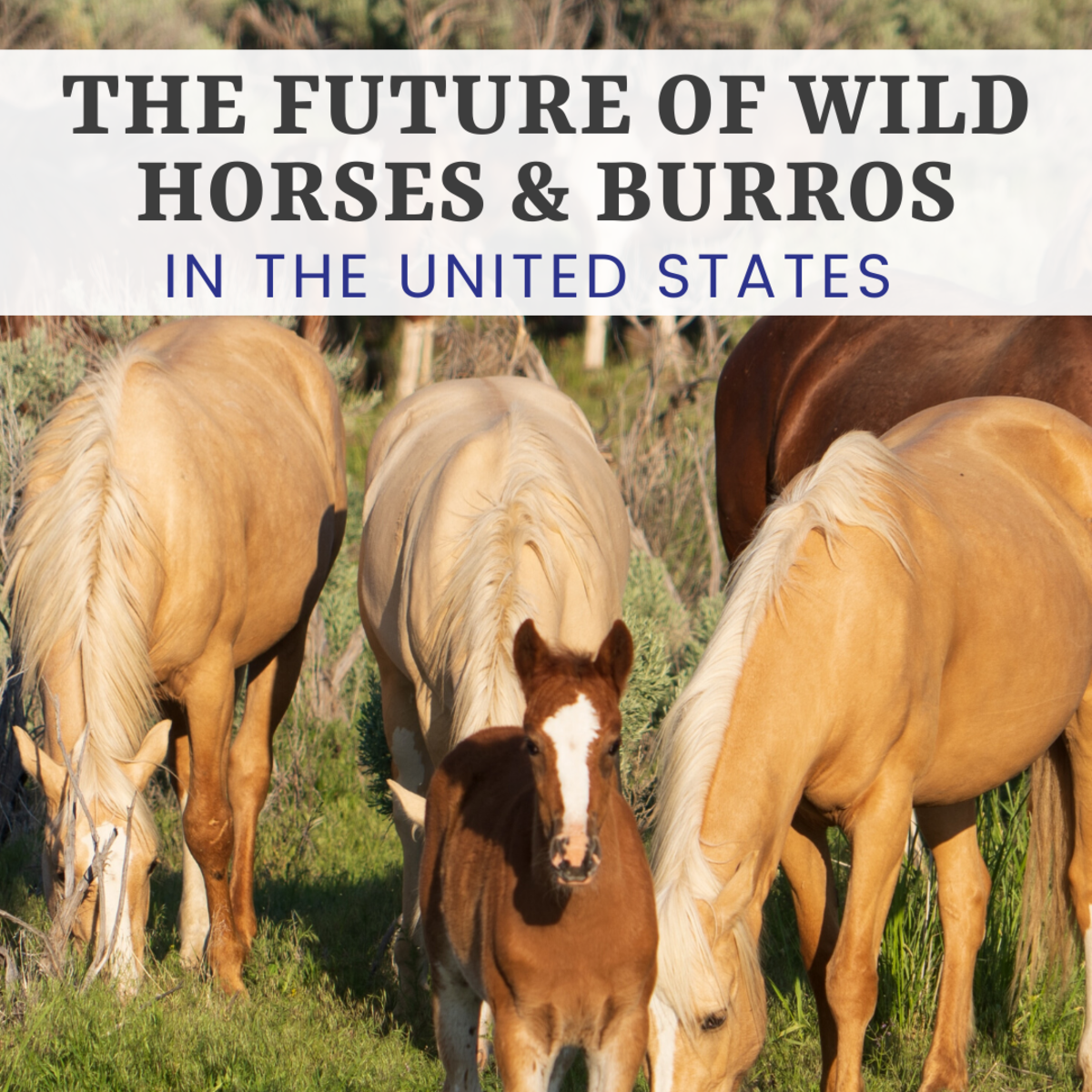 The Wild Horses and Burros of the United States of America are threatened with removal and almost certain death.
