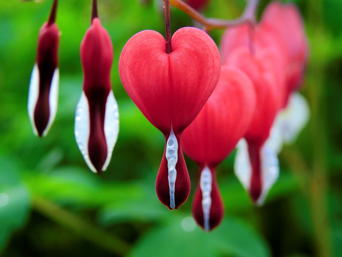 Growing Tips for Gorgeous Bleeding Heart or Lady in the Bath