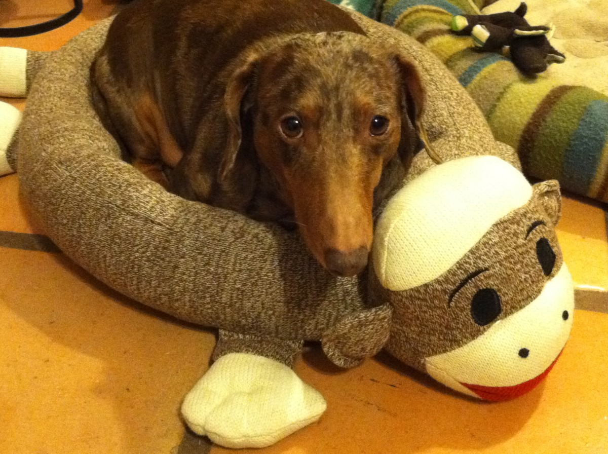 Thinking About Rescuing a Dachshund?  Things You Might Want to Know