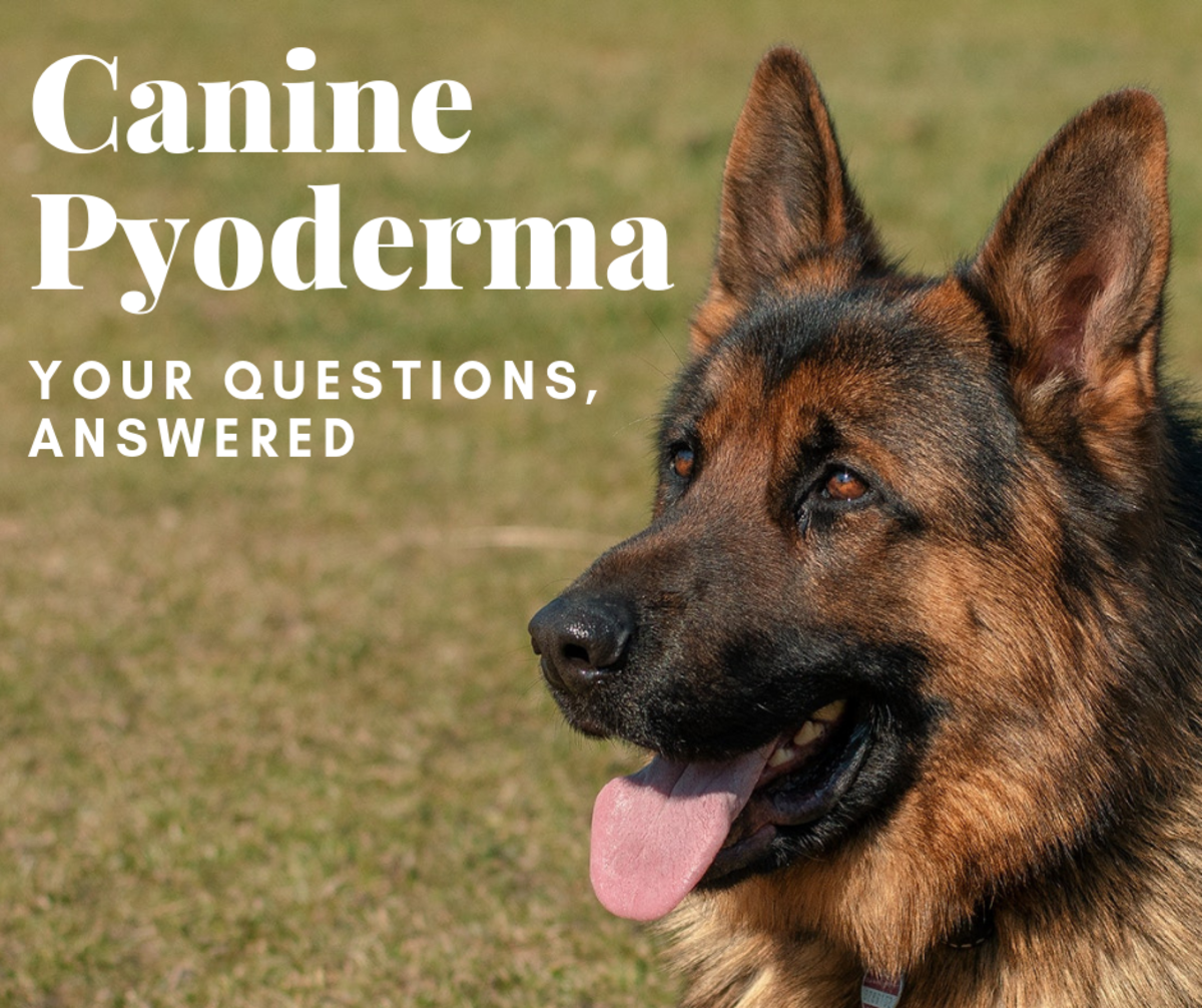 Help! My Dog Has Canine Pyoderma! Expert Answers to Your
