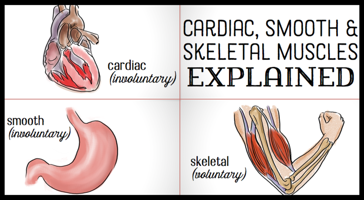 The differences between skeletal smooth cardiac muscles owlcation descriptions and examples of the three types of muscles in the human body ccuart Images